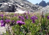 Рилска иглика - български ендемит