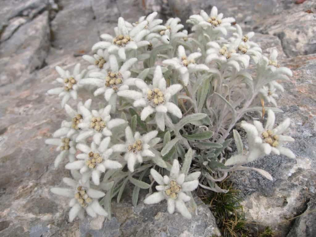 Edelweiss in Pirin Mountains