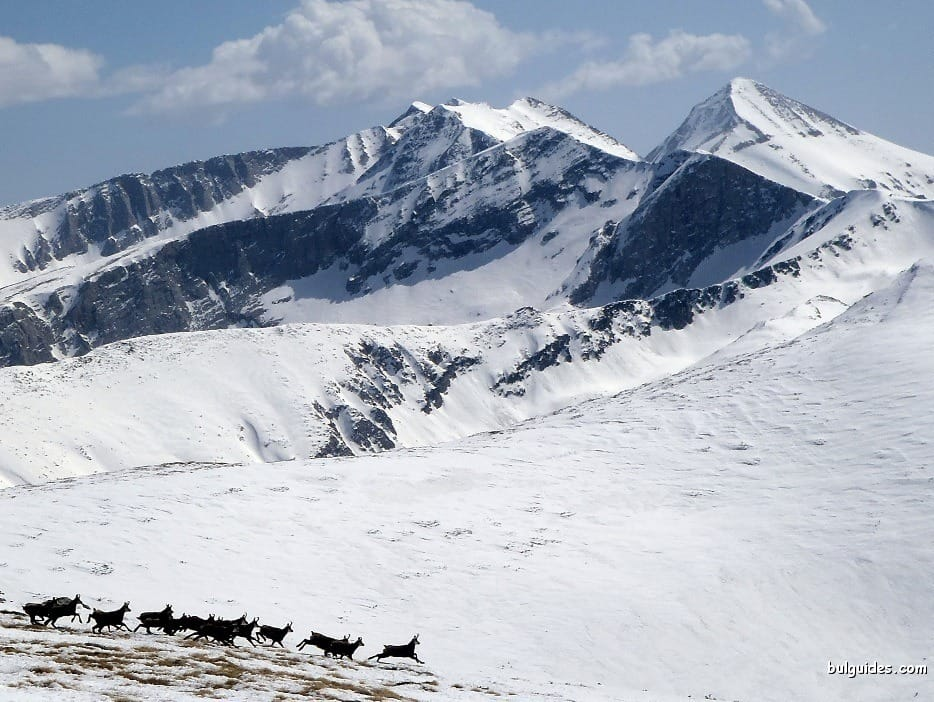 Herd of chamois in Pirin Mountains