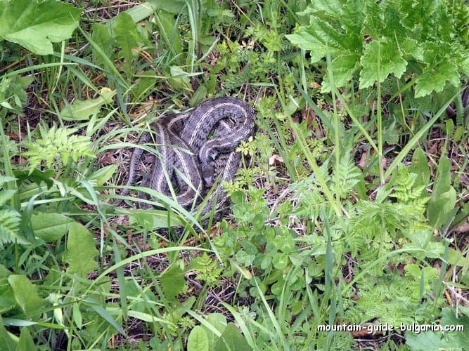 Grass Snake in Rhodope Mountains