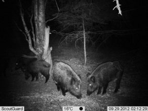 Wild Boars in Central Balkan National Park, Bulgaria