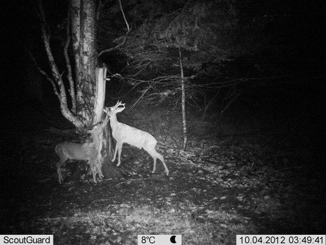 Roe Deer in Central Balkan National Park, Bulgaria